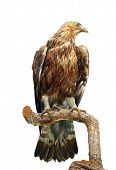 picture of taxidermy  - taxidermy mount of an eagle standing on a branch isolated over white - JPG