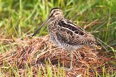 foto of snipe  - African snipe in wetland looking for food green grass water - JPG