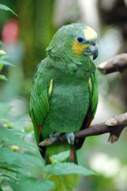 picture of polly  - Green Parrot Sitting on a branch Tree Bird Leaf Polly Exotic - JPG
