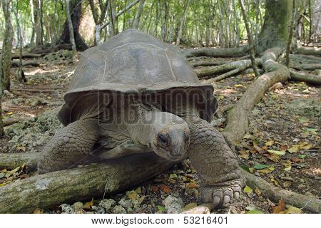 Aldabra Giant Tortoise In The Forest