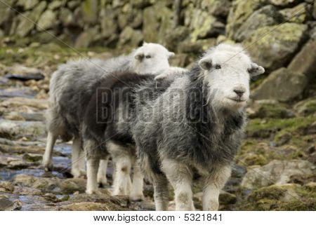 Herdwick Sheep, Lake District