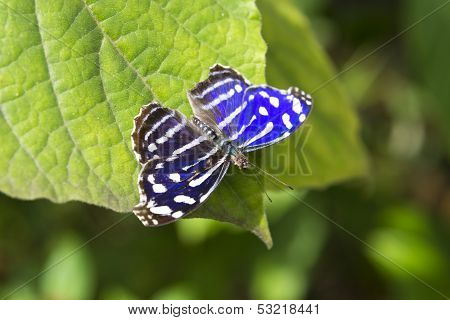 Blue Wave Butterfly(myscelia Cyaniris)