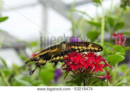 Thoas Swallowtail Or King Swallowtail (papilio Thoas)