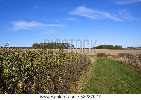 Agricultural Landscape With Maize