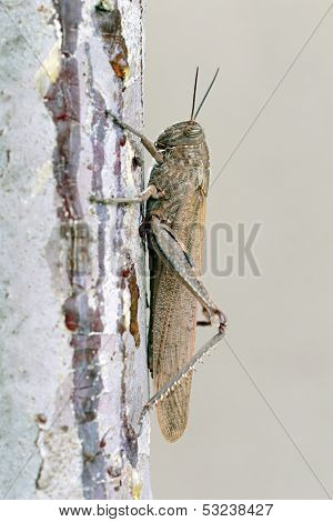 Locust Or Grasshopper