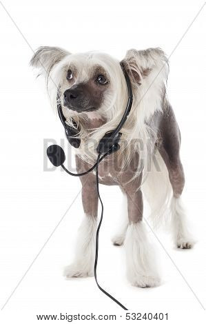 Chinese Crested Dog In Headphones With A Microphone