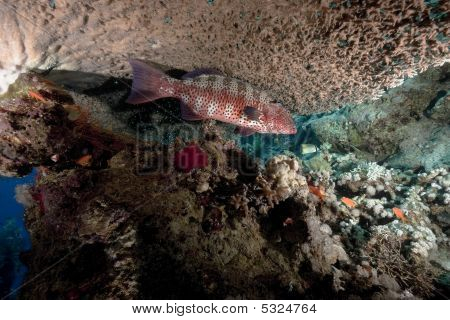Ocean, Coral And Coralgrouper