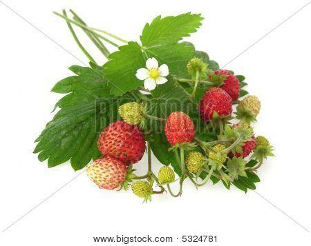 Wild_strawberries