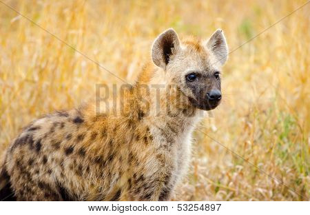 Spotted Hyena, Kruger National Park, South Africa