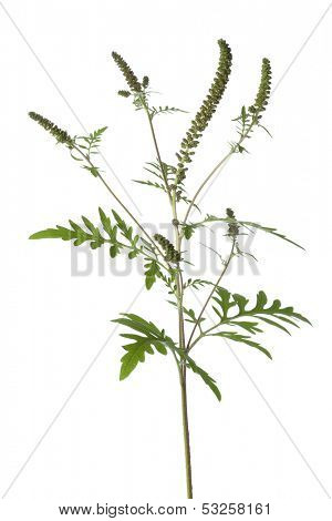 Common Ragweed plant on white background