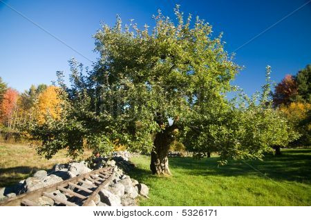 Apple Tree And Stone Wall