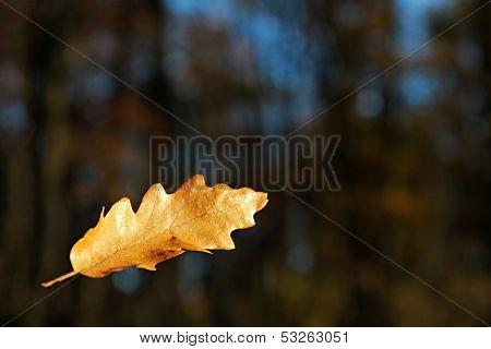 Falling Oak Leaf