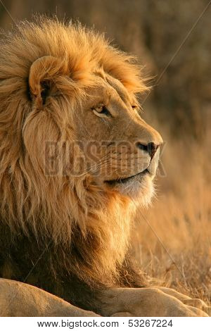 Portrait of a big male African lion (Panthera leo), South Africa