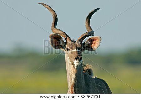 Portrait of a male Kudu antelope, (Tragelaphus strepsiceros), Etosha National Park, Namibia