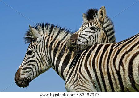 Two Plains (Burchell's) Zebras (Equus quagga), Mokala National Park, South Africa