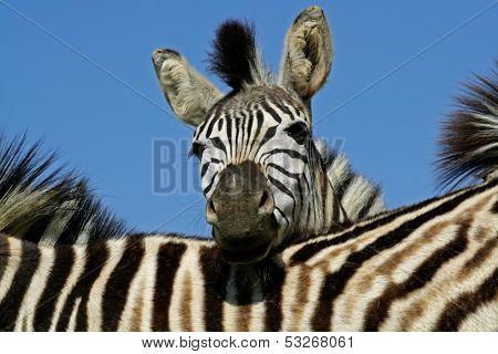 Portrait of a Plains (Burchells) Zebra (Equus quagga), Mokala National Park, South Africa