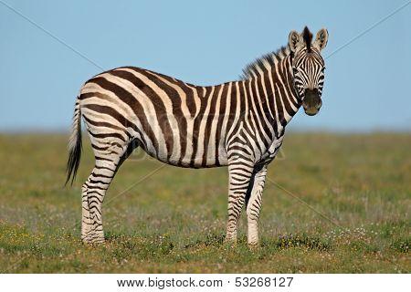 Plains (Burchell's) Zebras (Equus quagga), South Africa
