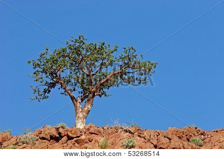 A corkwood tree (Commiphora spp.) against a blue sky, Namibia, southern Africa