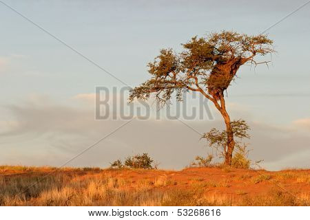 A camel thorn tree (Acacia erioloba) on a red sand dune with sociable weavers nest, Kalahari desert, South Africa