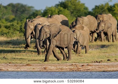 Herd of African elephants (Loxodonta africana) at a waterhole, Hwange National Park, Zimbabwe, southern Africa