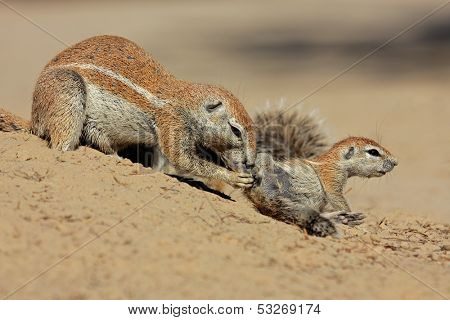 A female ground squirrel (Xerus inaurus) with her young, Kalahari desert, South Africa