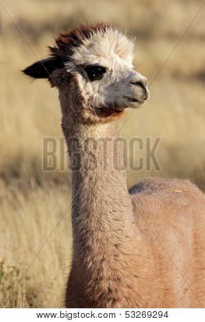 Portrait of Alpaca (Vicugna pacos)
