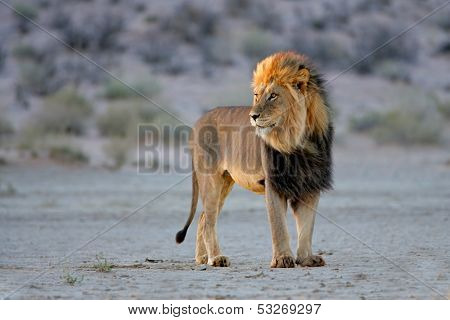 Big male African lion (Panthera leo), in late afternoon light, Kalahari desert, South Africa