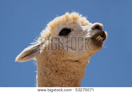 Portrait of Alpaca (Vicugna pacos), domesticated species of South American camelid