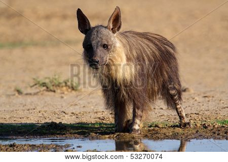 A brown hyena (Hyaena brunnea) at a waterhole, Kalahari, South Africa