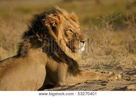 Big male African lion (Panthera leo), Kalahari desert, South Africa