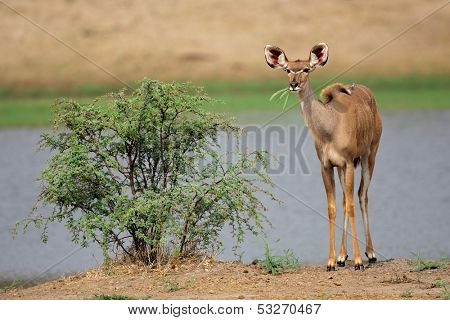 A young kudu antelope (Tragelaphus strepsiceros), South Africa