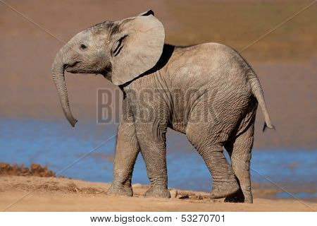 A young African elephant (Loxodonta africana), Addo Elephant park, South Africa
