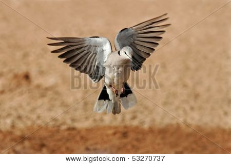 Cape turtle dove (Streptopelia capicola) in flight, Kalahari desert, South Africa