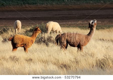 Alpacas (Vicugna pacos), domesticated species of South American camelid