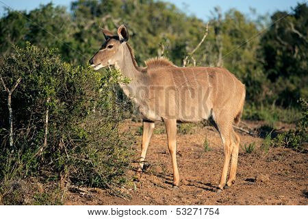 A female kudu antelope (Tragelaphus strepsiceros) feeding on a tree, South Africa