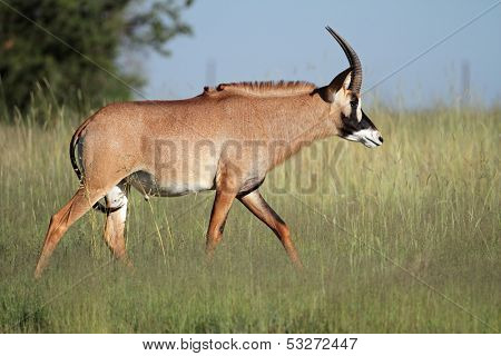 A a rare roan antelope (Hippotragus equinus), South Africa