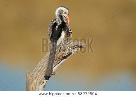 Red-billed hornbill (Tockus erythrorhynchus) preening, South Africa