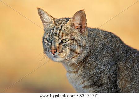 Portrait of an African wild cat (Felis silvestris lybica), Kalahari desert, South Africa