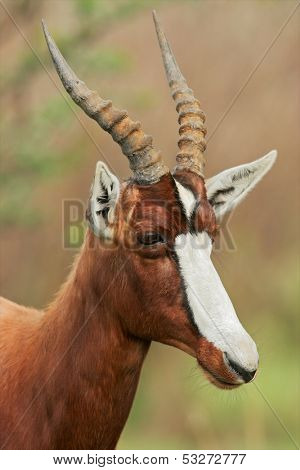 Portrait of an endangered bontebok antelope (Damaliscus pygargus dorcas), South Africa