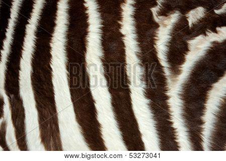Close-up view of the skin of a Plains (Burchell's) Zebra (Equus quagga)