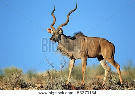 Big male kudu antelope (Tragelaphus strepsiceros) against a blue sky, Kalahari desert, South Africa