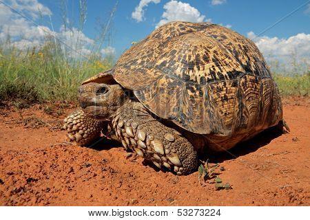 Leopard tortoise (Stigmochelys pardalis), South Africa