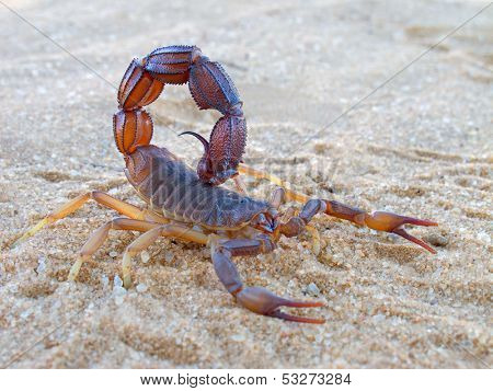 Aggressive scorpion (Parabuthus spp.), Kalahari desert, South Africa