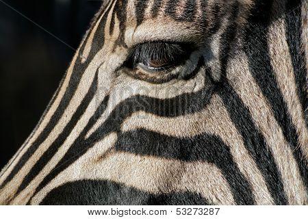 Close-up of the eye of a Plains (Burchell's) Zebra (Equus quagga), South Africa