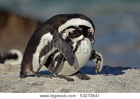 Pair of African penguin (Spheniscus demersus), Western Cape, South Africa
