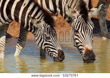 Plains (Burchell's) Zebras (Equus quagga) drinking water, Mkuze game reserve, South Africa