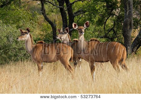 Kudu antelopes (Tragelaphus strepsiceros) in savanna habitat, South Africa