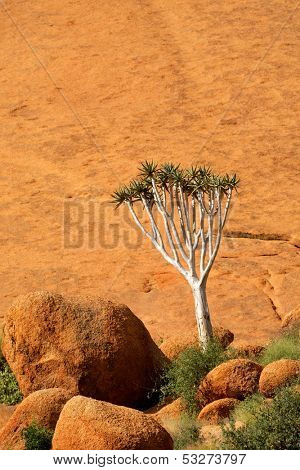 A quiver tree (Aloe dichotoma) against a rock, Spitzkoppe, Namibia, southern Africa