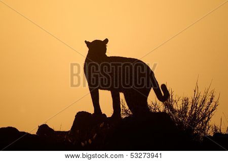 Leopard (Panthera pardus) silhouetted against an orange sky at sunrise, South Africa