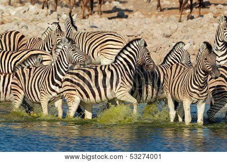 Plains (Burchells) Zebras (Equus burchelli) walking in water, Etosha National Park, Namibia